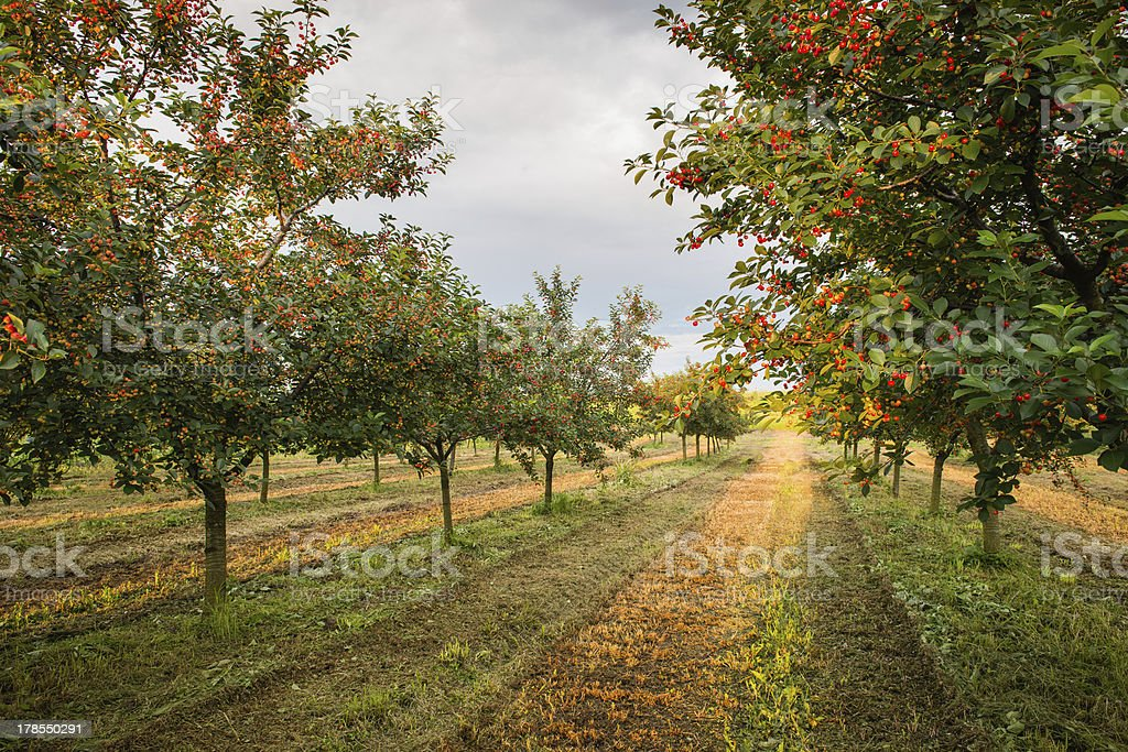 cherries on orchard tree stock photo