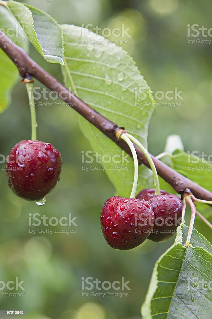 Cherries on the tree stock photo