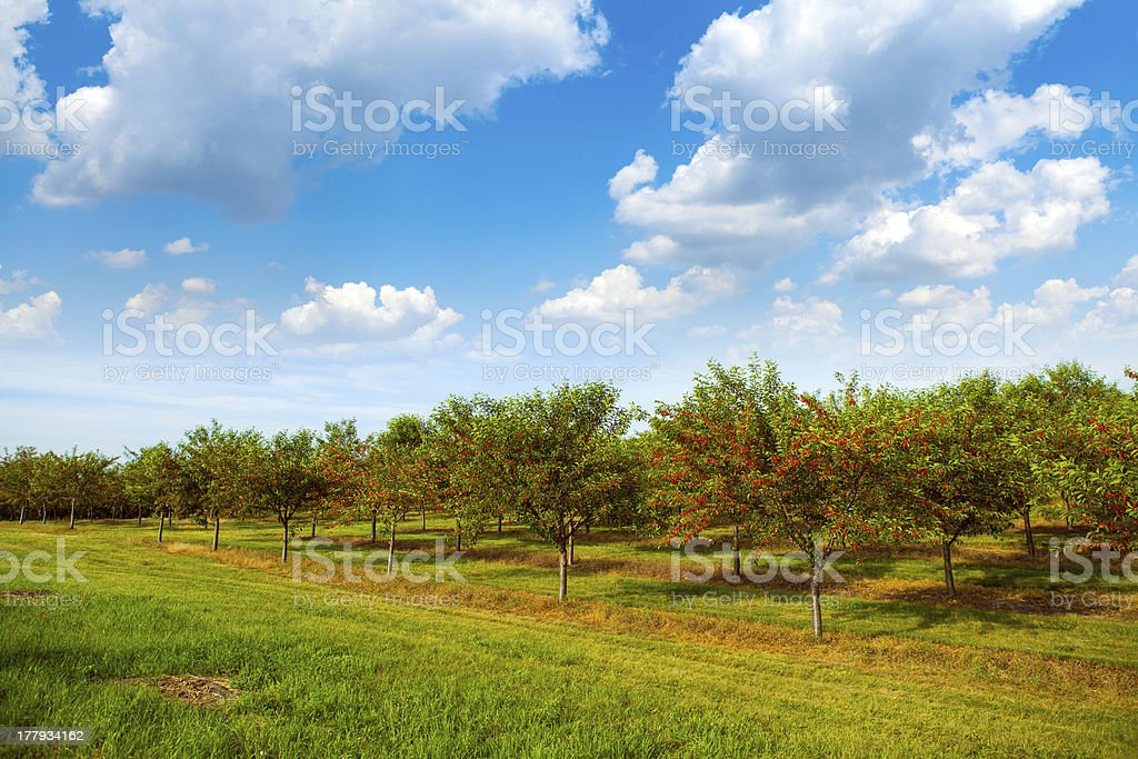 Cherries Orchard With Blue Sky stock photo