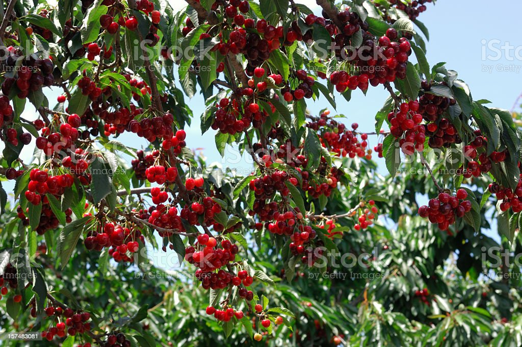 Cherries Ripening On Tree stock photo