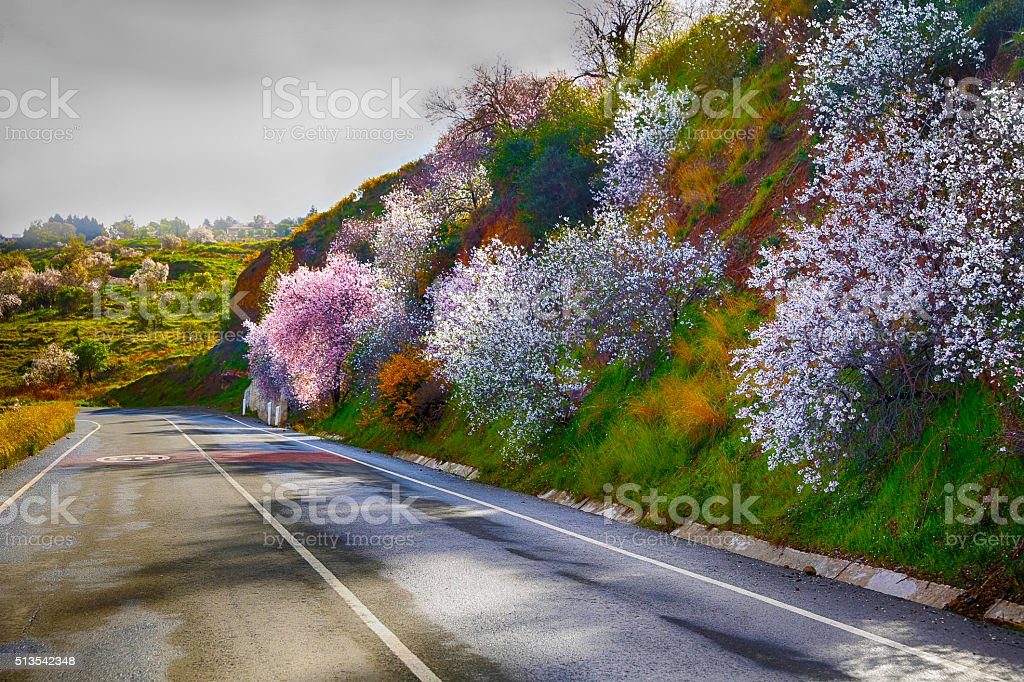 Cherry and almond blossom in Spring stock photo