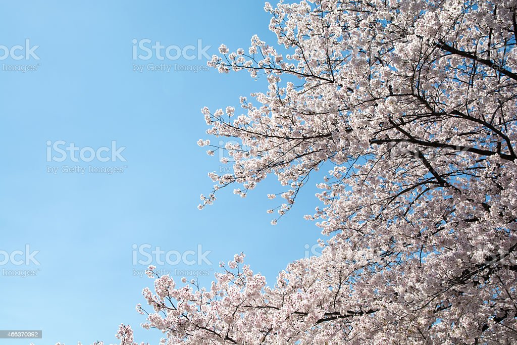 Cherry and blue sky royalty-free stock photo