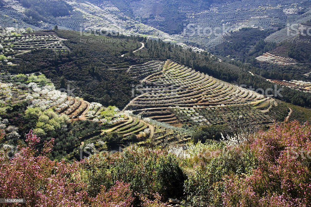 Cherry and olive cultivation in terraces stock photo