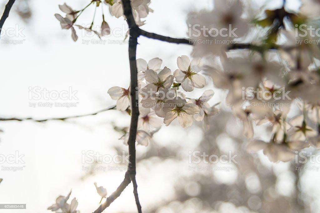 Wiśnia bloom w spring zbiór zdjęć royalty-free