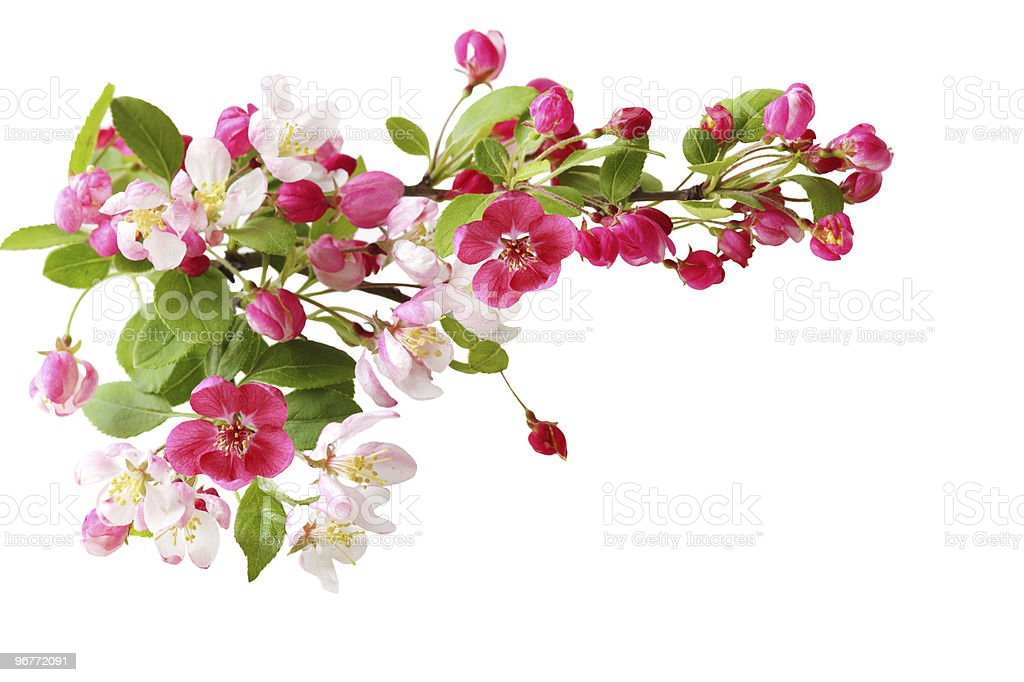 Cherry Blooming royalty-free stock photo