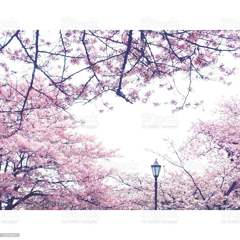 cherry blossms stock photo
