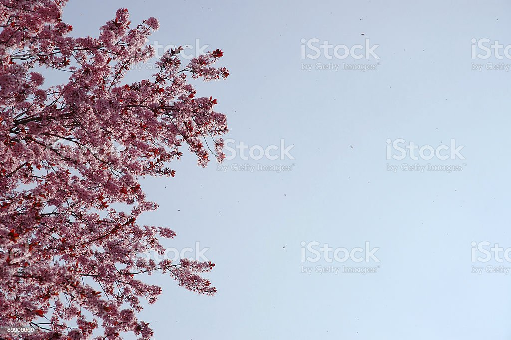 Cherry blossom 2 royalty-free stock photo
