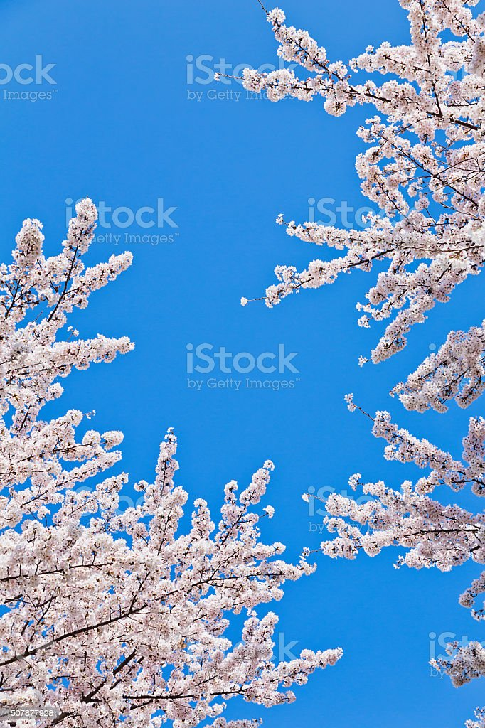 Cherry Blossom Against Clear Blue Sky stock photo