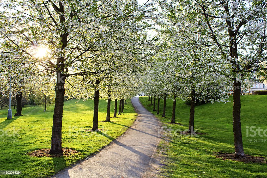 Cherry Blossom Alleyway stock photo