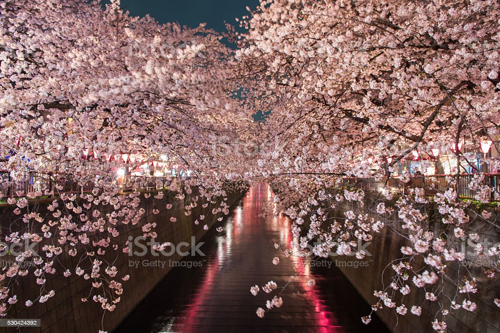 Cherry Blossom along the Meguro-gawa in Tokyo stock photo