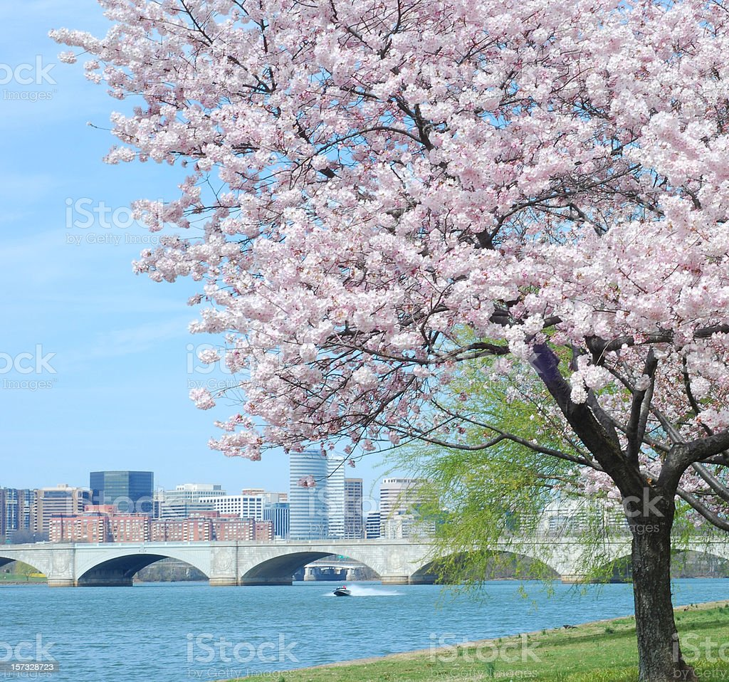 Cherry Blossom and Arlington Memorial Bridge stock photo