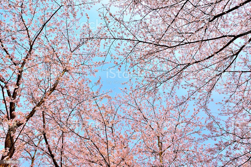 Cherry Blossom and Cherry Tree stock photo