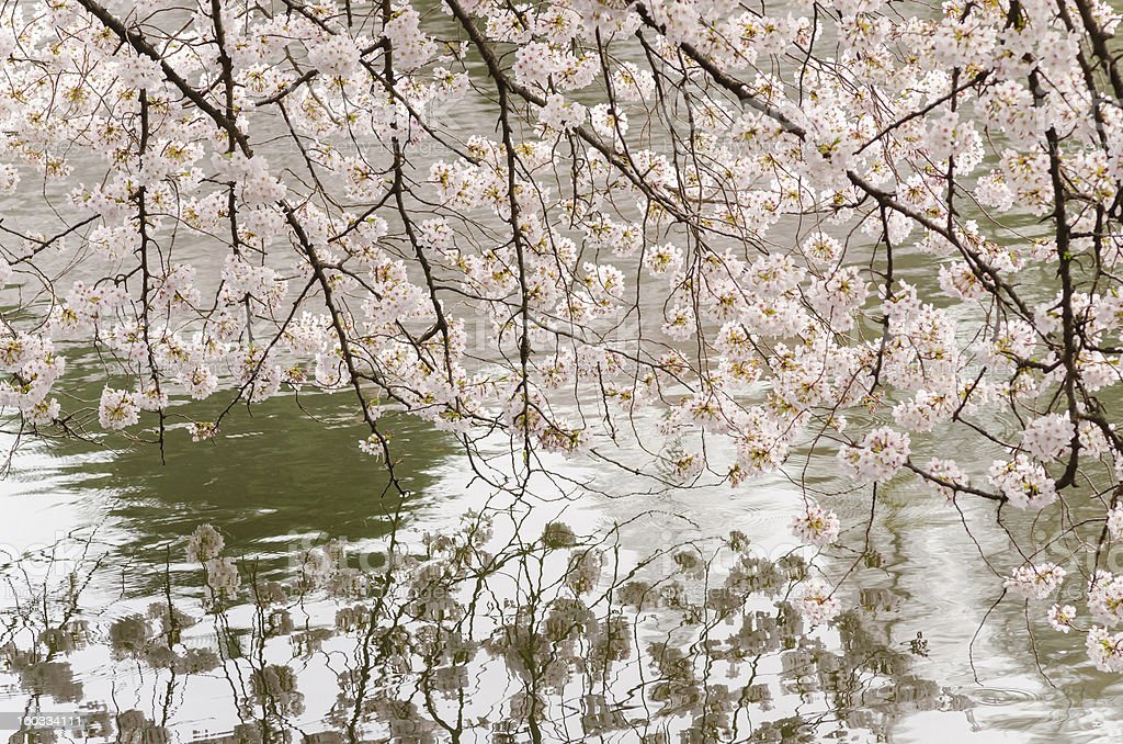 Cherry Blossom and Pond of Japanese Garden stock photo