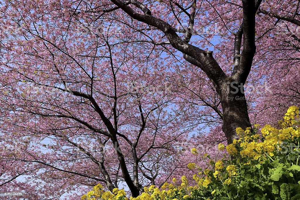 Cherry blossom and Rape flower royalty-free stock photo