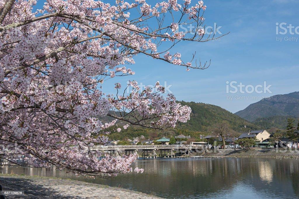 Cherry blossom, Arashiyama in spring,Kyoto, Japan stock photo