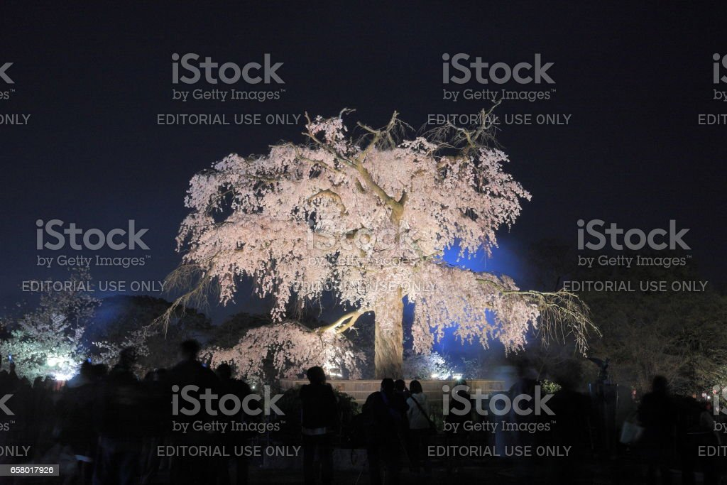 Cherry blossom at Yasaka Shrine in Kyoto city stock photo