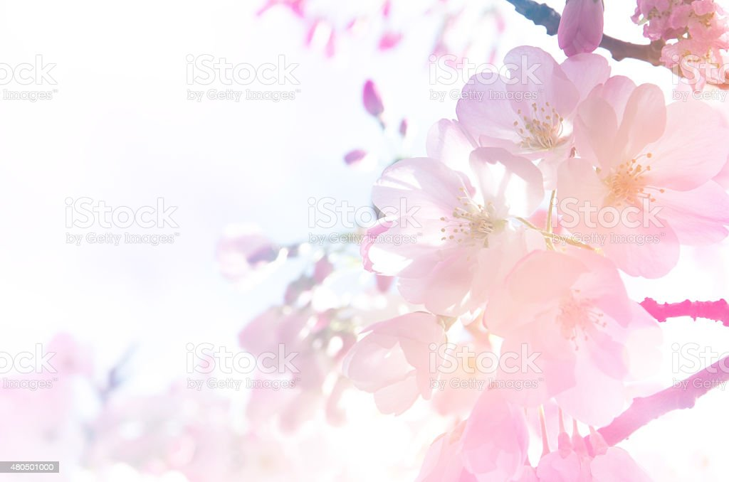 Cherry blossom background in gradient light. stock photo