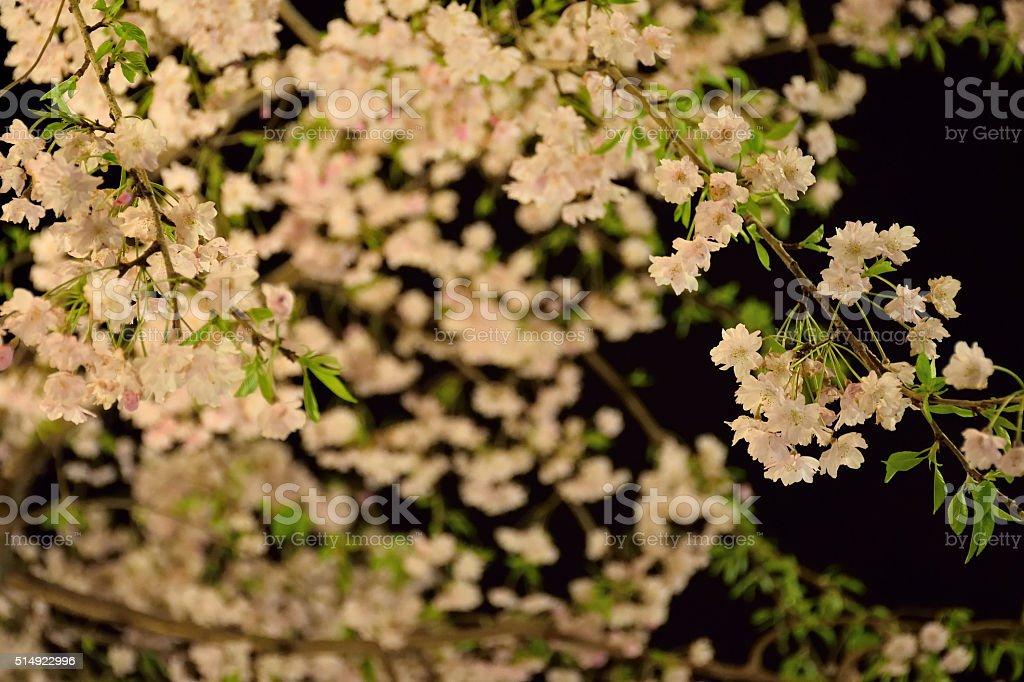 Cherry Blossom Background with night illumination stock photo