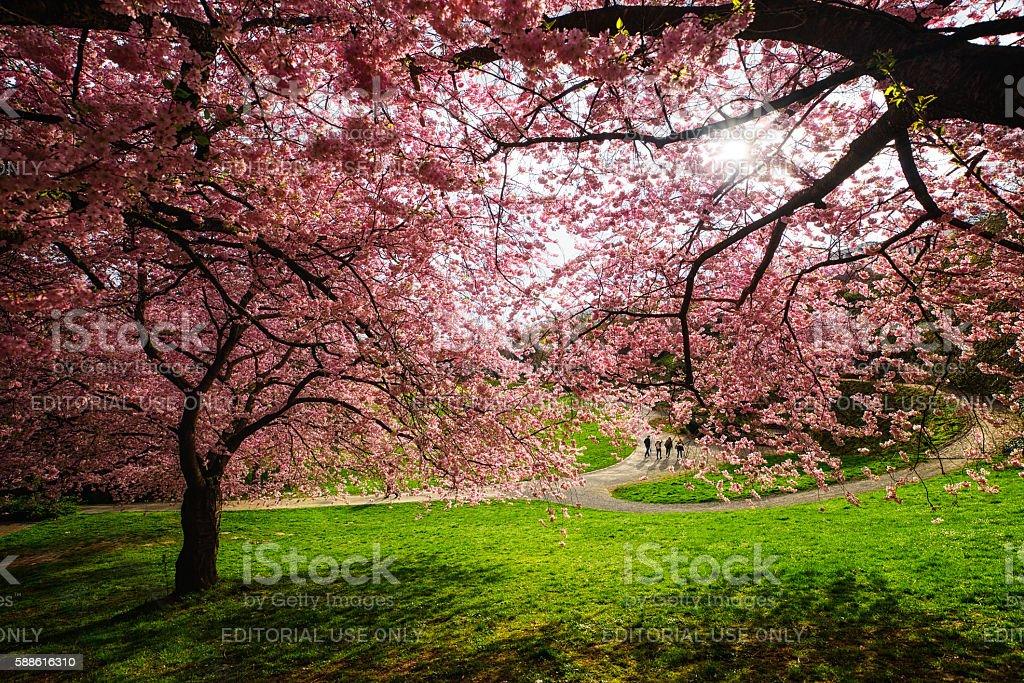 Cherry blossom bloom in kassel garden stock photo