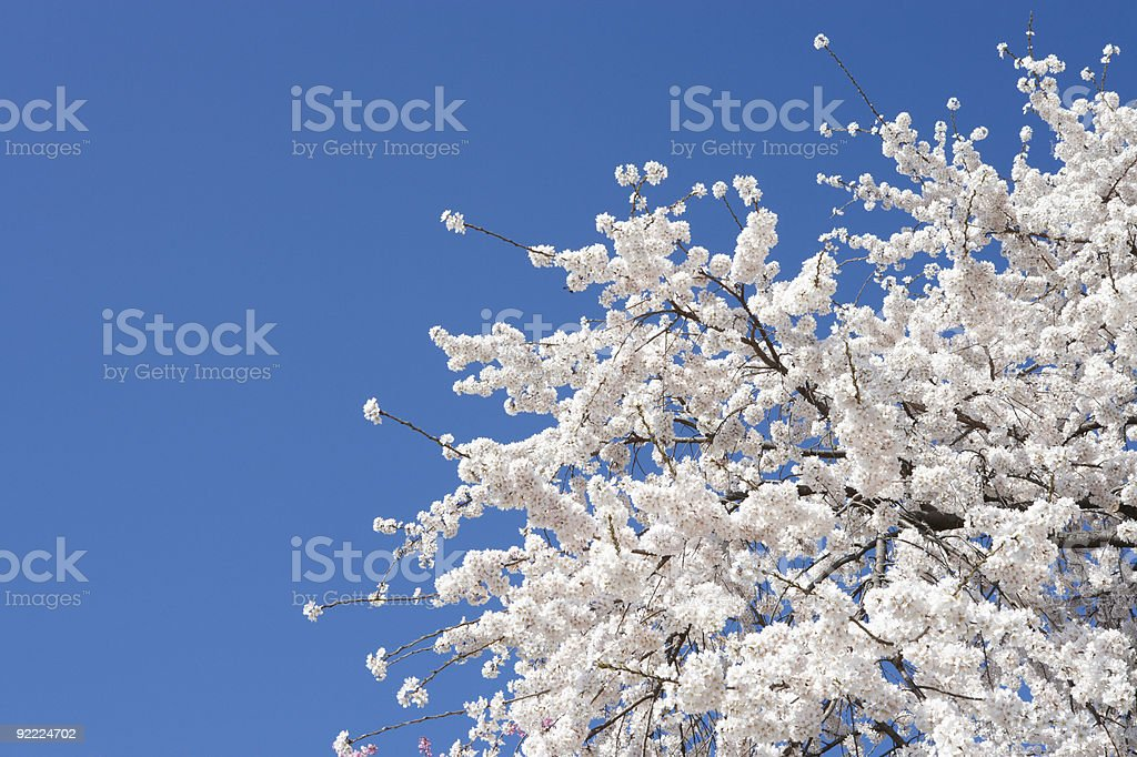 Cherry Blossom Blooms against a bright blue background royalty-free stock photo