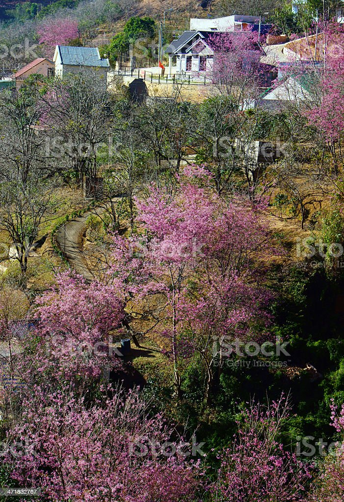 Cherry blossom blow colourful at valley of Dalat's suburb royalty-free stock photo