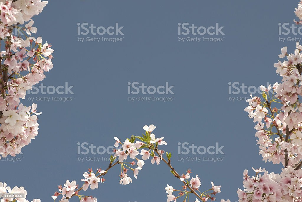 Cherry Blossom Border royalty-free stock photo