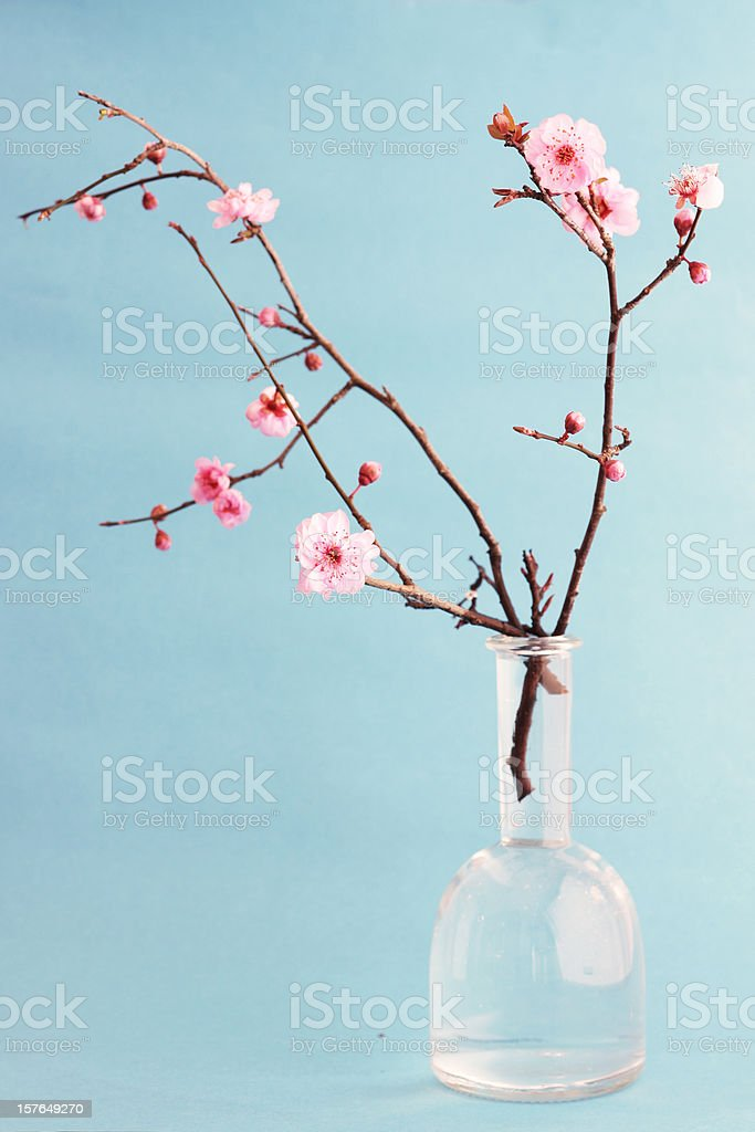 Cherry blossom bouquet with blue background stock photo