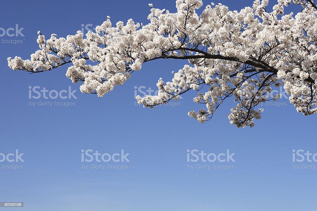 Cherry Blossom Branch royalty-free stock photo