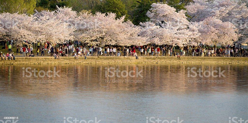 Cherry Blossom Festival in DC stock photo