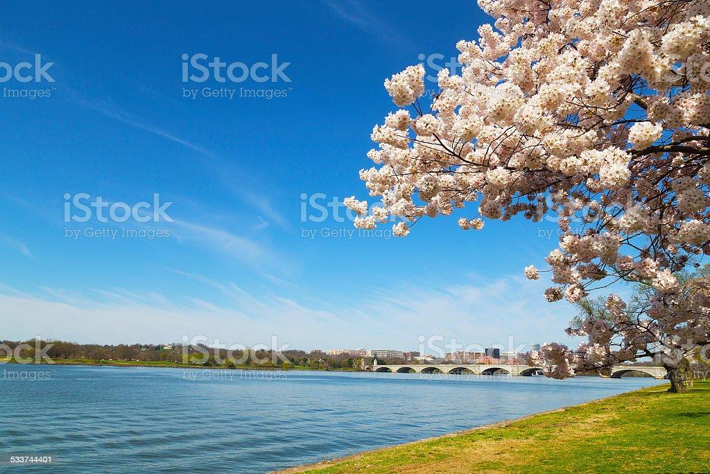 Cherry blossom festival in the US capital near Potomac River. stock photo