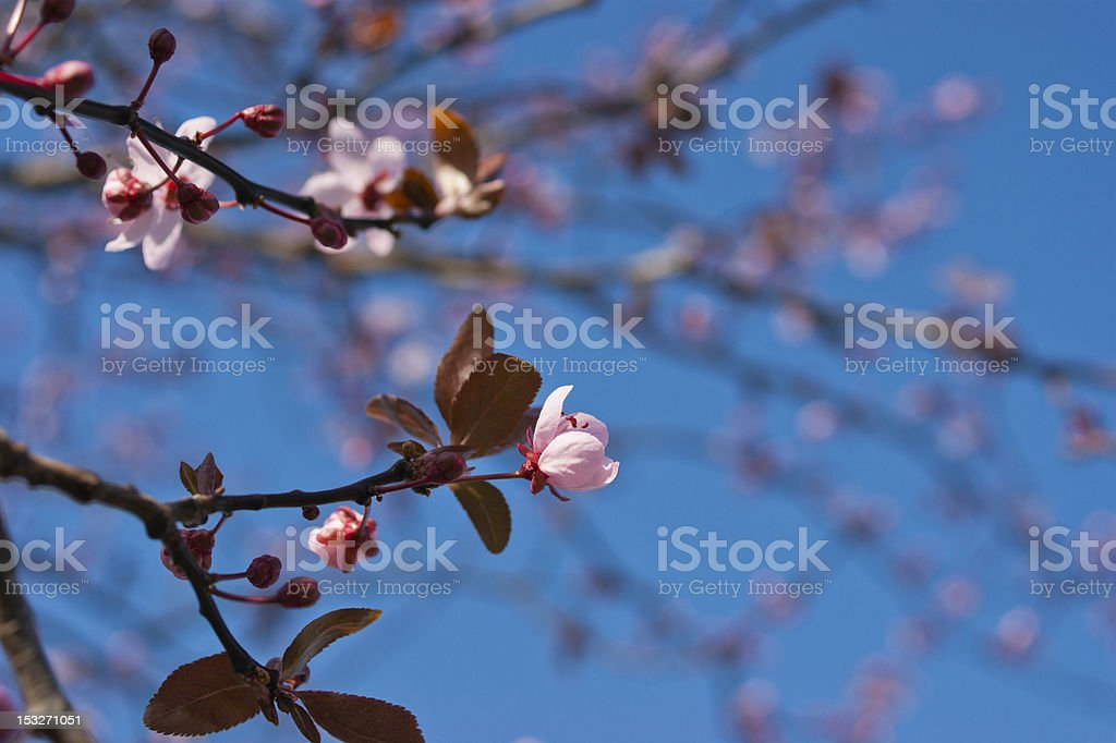 Cherry blossom flowers against blue sky. royalty-free stock photo