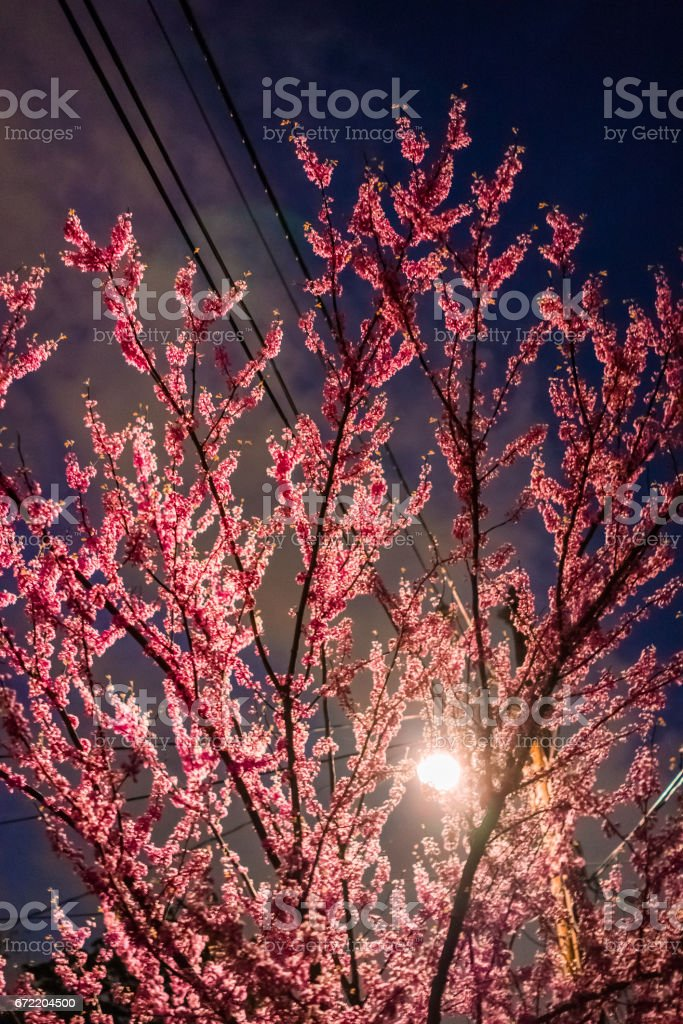Cherry blossom flowers on tree at night illuminated by lamp post with telephone wires stock photo