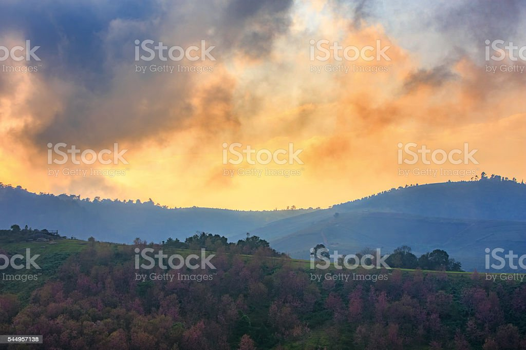 Cherry blossom forest at sunset stock photo