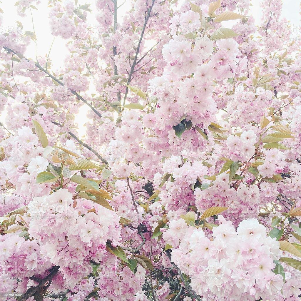 Cherry blossom High key stock photo