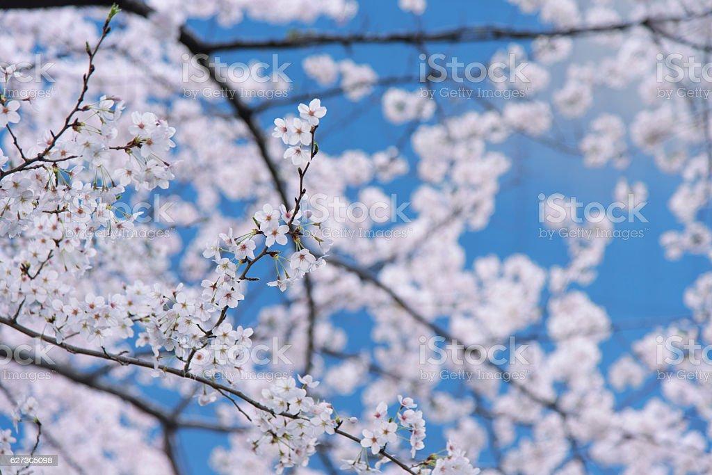 Cherry blossom Image stock photo