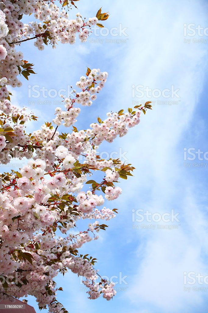 Cherry blossom in blue sky royalty-free stock photo