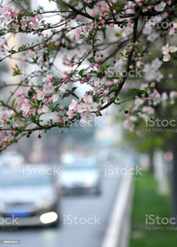 Cherry Blossom in Chinese city stock photo