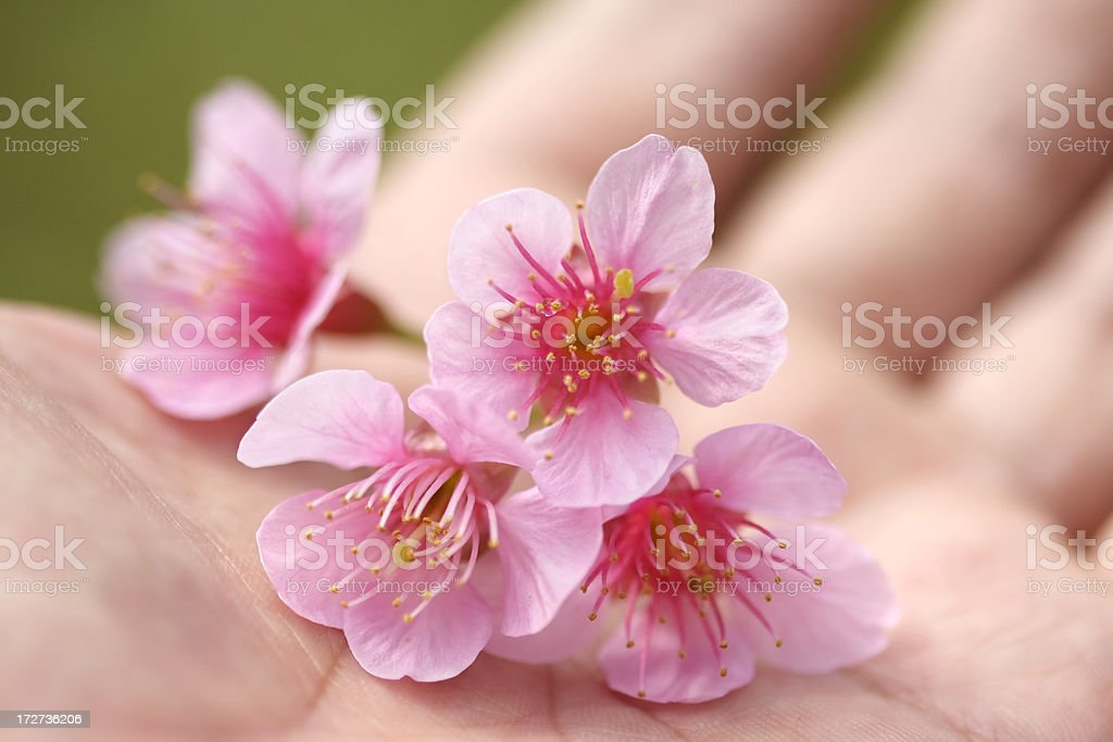 Cherry blossom in hand royalty-free stock photo