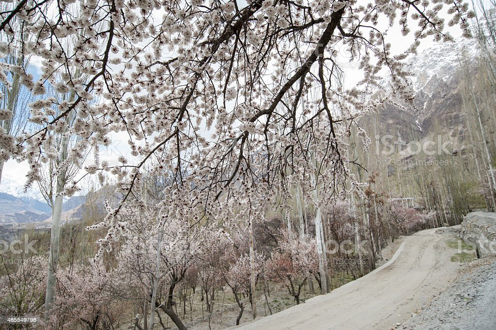 Cherry blossom in Hunza Pakistan stock photo
