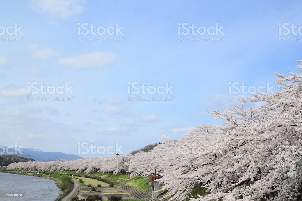 cherry blossom  in  Kakunodate stock photo