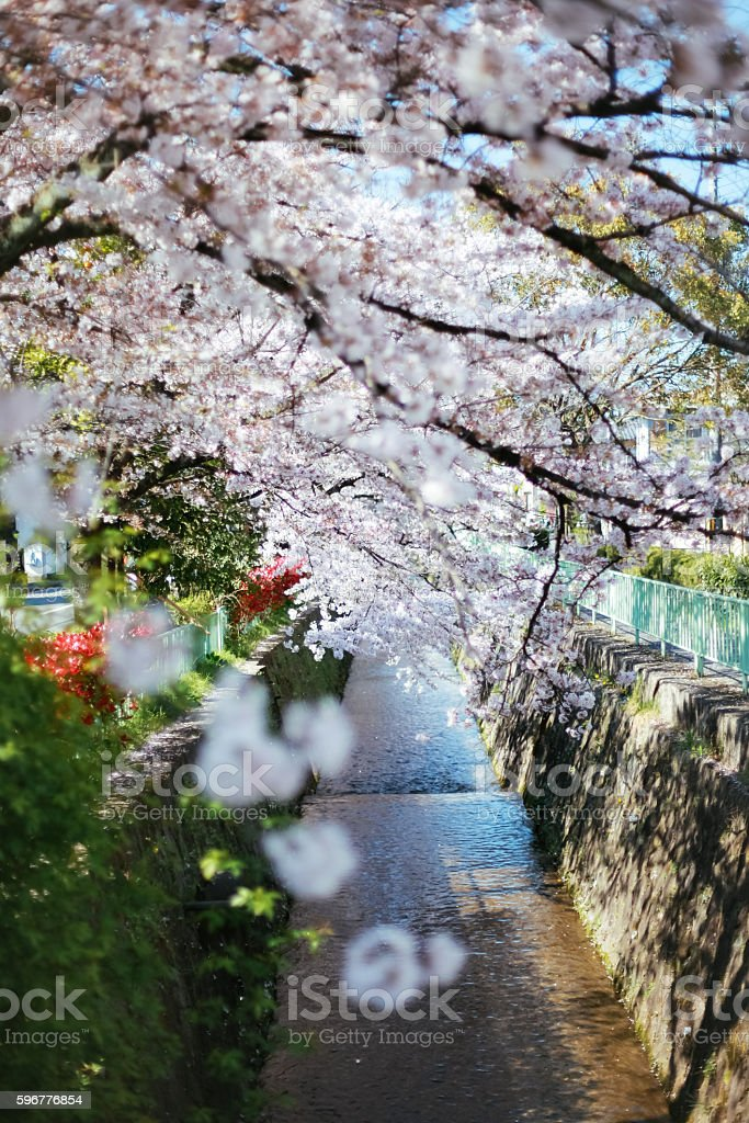 Cherry Blossom in Kyoto stock photo