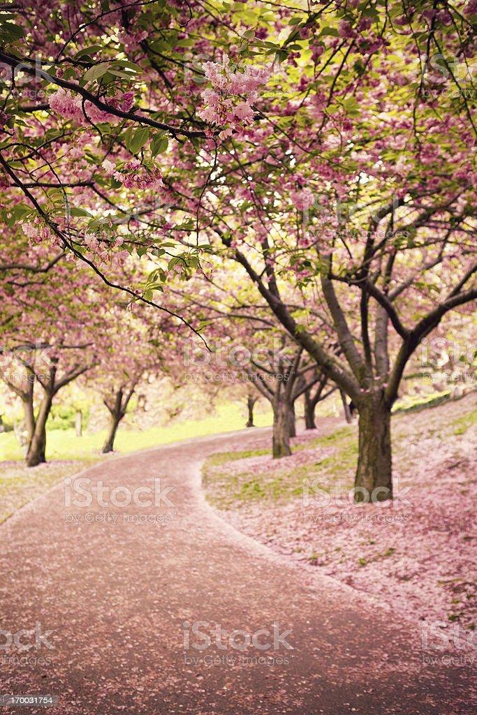 Cherry blossom in Newyork stock photo