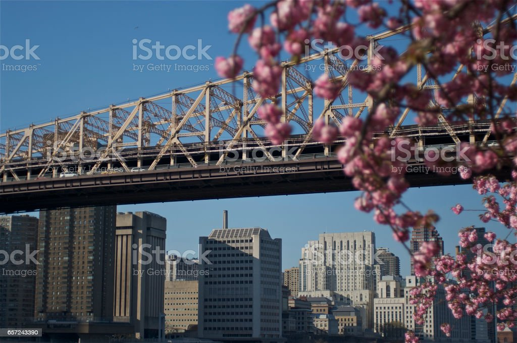 Cherry blossom in Roosevelt Island, NY stock photo