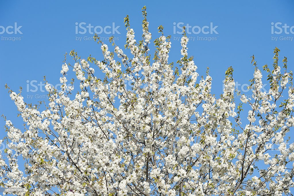 cherry blossom in spring royalty-free stock photo