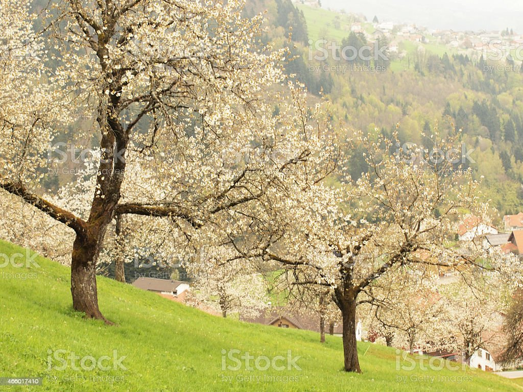 Cherry blossom in spring stock photo
