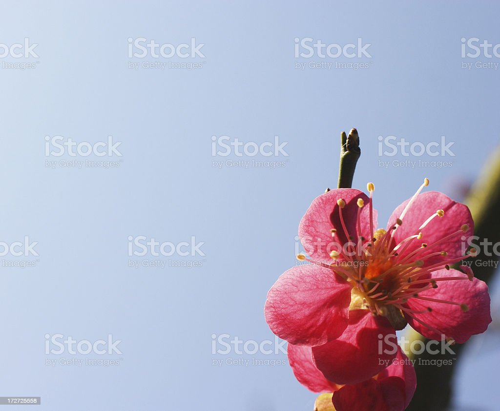 Cherry blossom in spring - Prunus mume stock photo