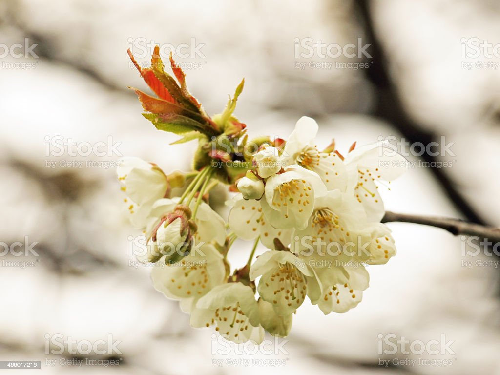 Cherry blossom in spring / with beautiful bokeh stock photo