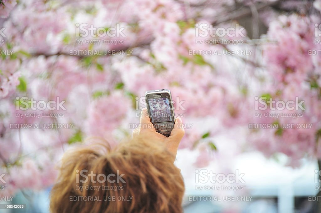 Cherry blossom in Stockholm royalty-free stock photo
