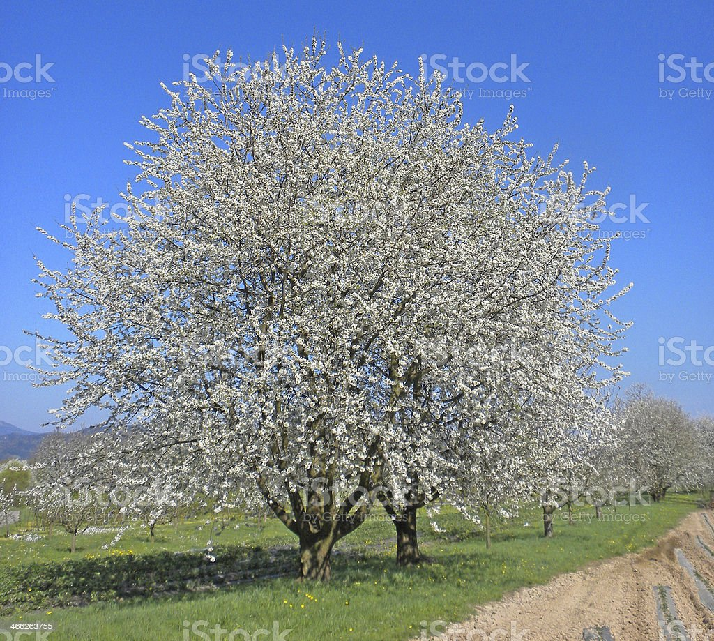 Cherry blossom in the Black Forest Germany stock photo