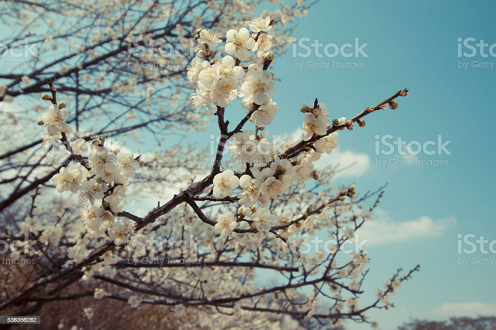 Cherry blossom in the sky royalty-free stock photo
